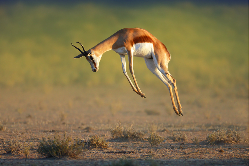 Auto Part Stores >> Springbok and gemsbok to be culled at Alkantpan - KLK